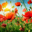 Poppies field in rays sun — Stock Photo