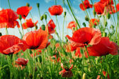 Poppies on green field — Foto de Stock