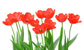 Tulips isolated on a white background — 图库照片