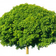 Norway maple(Acer platanoides) - Stock Photo