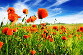 Poppy on green field — Stock Photo