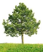 Scotch pine (Pinus sylvestris) — Stock Photo