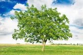 European walnut (Juglans regia) — Stock Photo