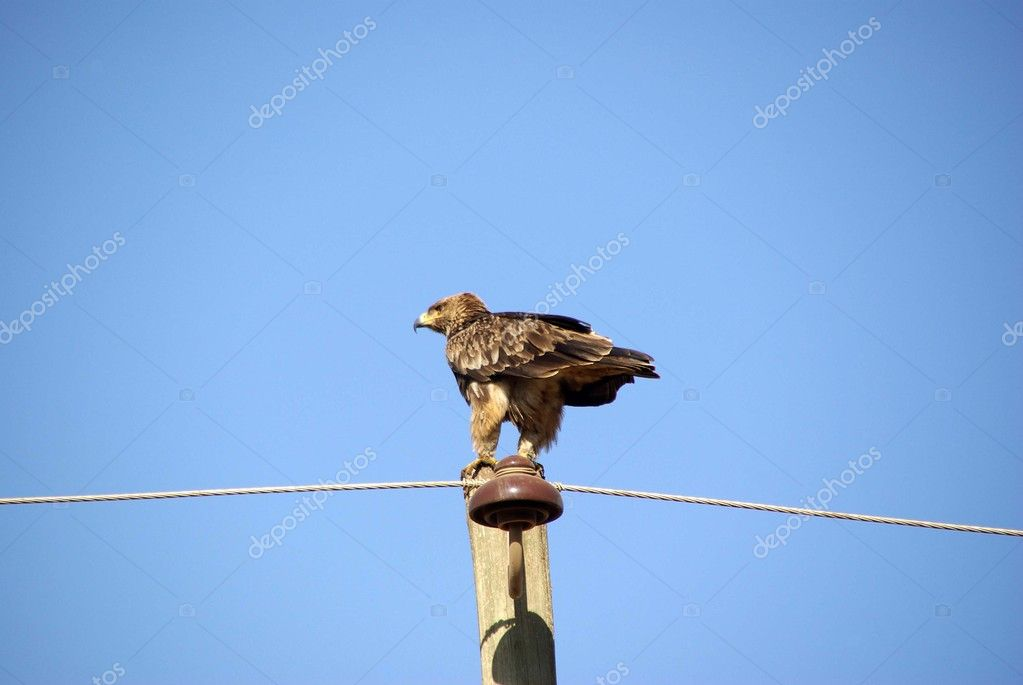 A wild eagle in Ethiopia, in Africa — Stock Photo #8024707
