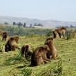 Gelada baboons, Ethiopia — Stock Photo #8605657