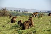Gelada baboons, Ethiopia — Stock Photo