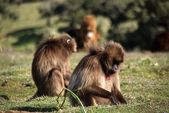 Baboons, Ethiopia — Stock Photo