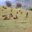 Stock Photo: Baboons, Ethiopia