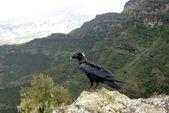 Crow in Ethiopia — Stock Photo