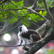 Coton-top Tamarin — Stock Photo