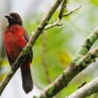 Crimson-backed Tanager — Stock Photo