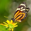 Tiger mimic butterfly - Stock Photo
