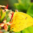 Stock Photo: Cloudless Sulphur