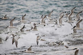Large flock of sea birds — Stock Photo