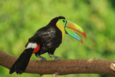 Keel-billed Toucan — Stock Photo