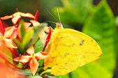 Cloudless Sulphur — Stock Photo
