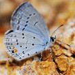 Stock Photo: Eastern Tailed-blue