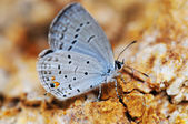 Eastern Tailed-blue — Stock Photo