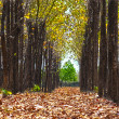 Beautiful teak tree path — Stock Photo #9429242