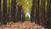 Beautiful teak tree path — Stock Photo