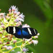 Stock Photo: SarLongwing (Heliconius sarmagdalena)