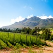 Stock Photo: Hops field in George, South Africa