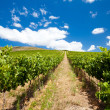 Vineyard — Stock Photo #10469860