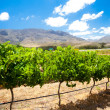 Vineyard — Stock Photo #10469864