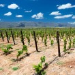Vineyard in Cape Town — Stock Photo