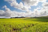 Sockerrör fältet — Stockfoto