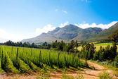 Hops field in George, South Africa — Stock Photo