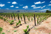 Vineyard in Cape Town — Stok fotoğraf