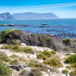 African penguins on boulders beach, cape town - Photo