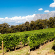 Vineyard in cape town — Stock Photo #10470174