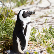 Stock Photo: African penguin