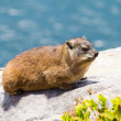 Dassie — Stock Photo