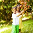 Stock Photo: Kids picking litchis