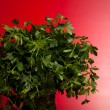 Bunch Of Parsley On Red Background — Stock Photo