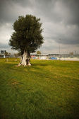 Lonely Olive Tree — Stock Photo