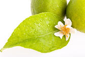 Lime Leaf — Stock Photo