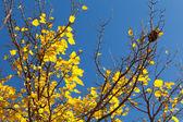 Gele boom met nest — Stockfoto