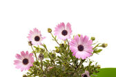 Pink African Daisies On White — Stock Photo