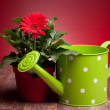 Red Gerbera And Watering Can — Stock Photo