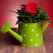Red Gerbera In Watering Can — Stock Photo