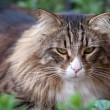Portrait Of Norwegian Cat Sitting In The Grass — 图库照片