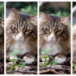 Four Expressions Of Norwegian Cat - Stock Photo