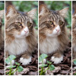 Collage With Norwegian Cat - Stock Photo