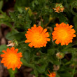 Calendula Flowers (Calendula Officinalis) — Stock Photo #9752432