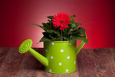 Gerbera And Watering Can — Stock Photo