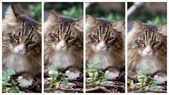 Four Expressions Of Norwegian Cat — Stock Photo